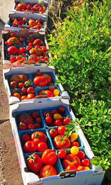 Tomatoes Hazel Hts B 2016